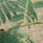 Effect of <em>Acacia catechu</em> (L.f.) Willd. on Oxidative Stress with Possible Implications in Alleviating Selected Cognitive Disorders