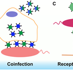 Virus interactions with bacteria: Partners in the infectious dance